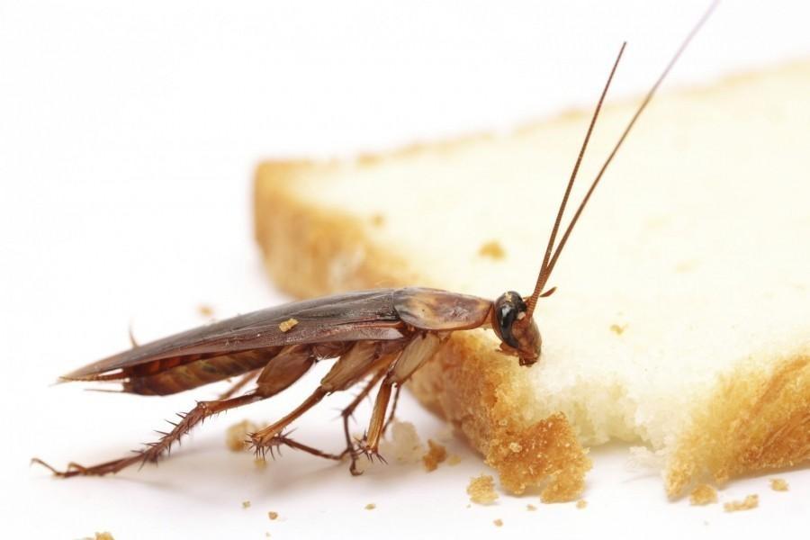 Тараканы ищут источники пищи