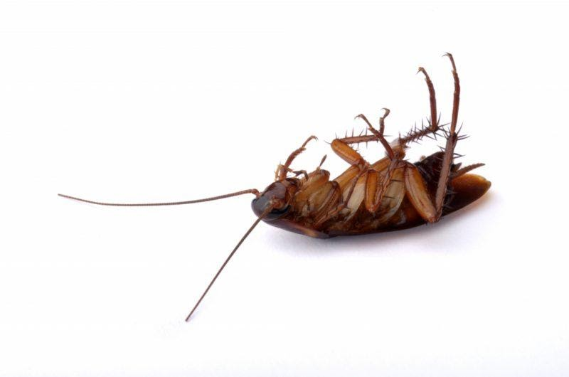 Погибший таракан
