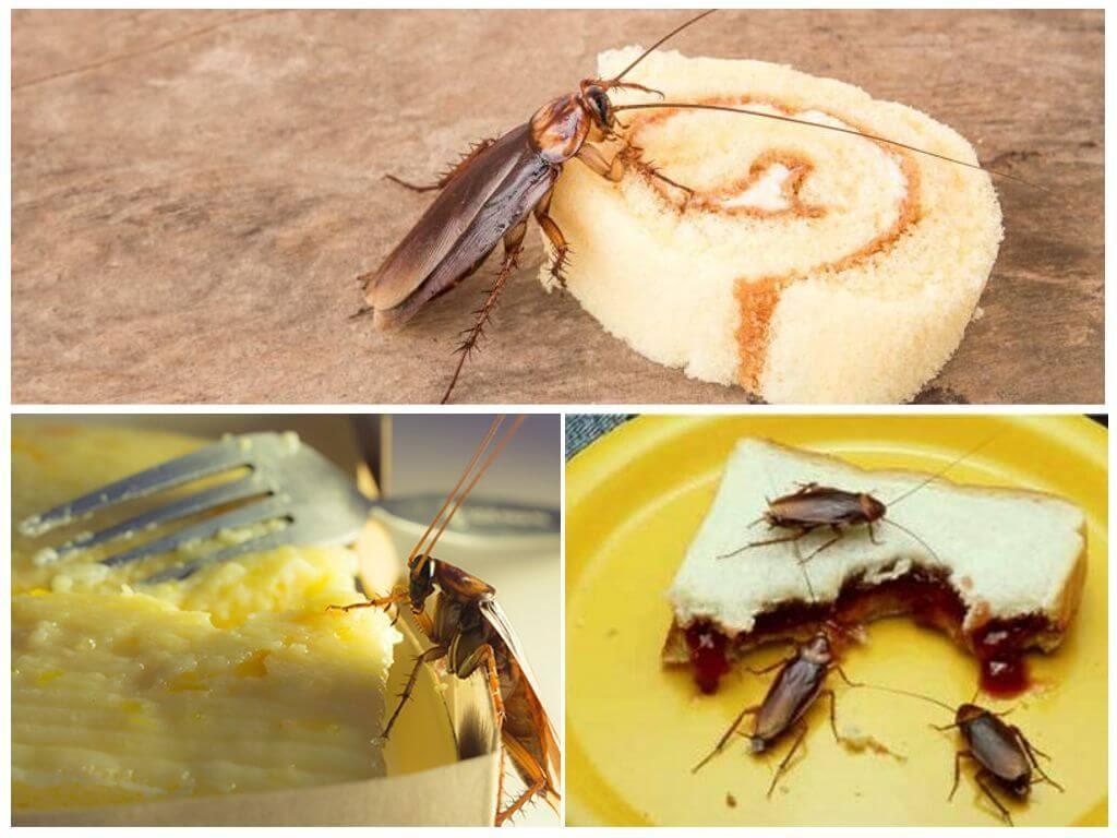 Тараканы питаются приманкой