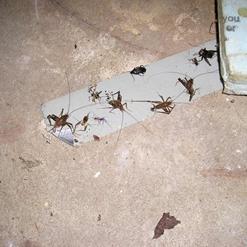 Липкая лента с медом - эффективное средство для борьбы с тараканами в квартире